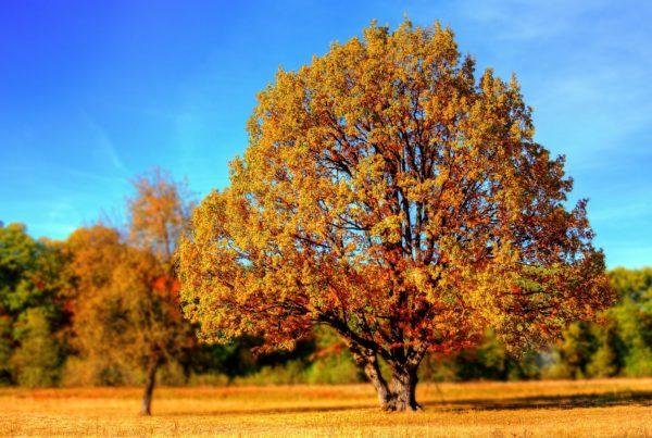 Langschaft mit vielen Bäumen im Hintergrund. großer Baum, mit orangenem Laub im Vordergrund
